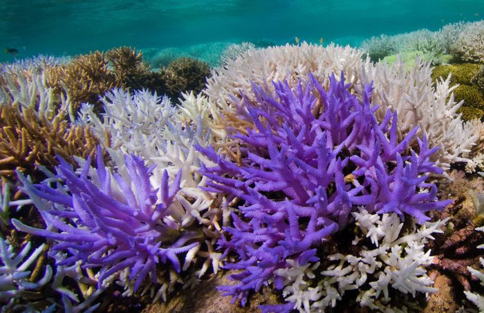 Acropora corals. Colourful bleaching in New Caledonia. / Credit: The Ocean Agency/XL Catlin Seaview Survey