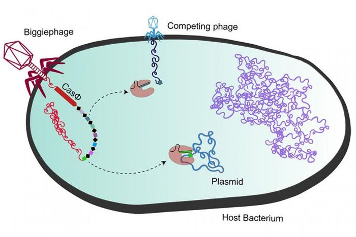 A megaphage (left) injects its DNA and genes for CasΦ (red) into bacterial cells, turning the bacteria against the phage's competitor (top). Reddish CasΦ proteins are enzymes that cut up viral DNA, while the bacterial genome is (purple). / Credit: UC Berkeley image by Basem Al-Shayeb and Patrick Pausch