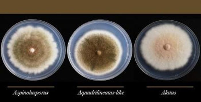 The species is more drug-resistant than its two parents and highly dangerous for patients with respiratory diseases and compromised immune systems. / Credit: Gustavo H. Goldman / USP