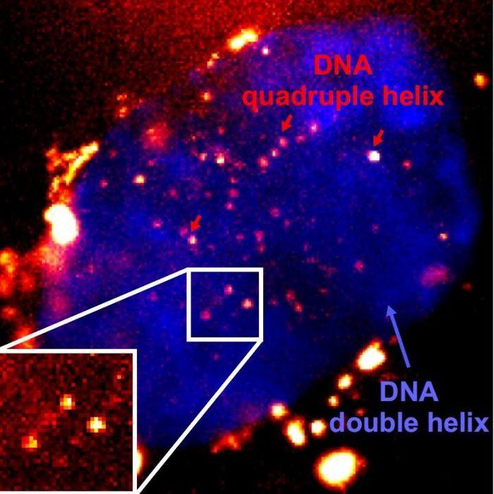 Microscopy image of fluorescent quadruple helix DNA / Credit: Di Antonio et al