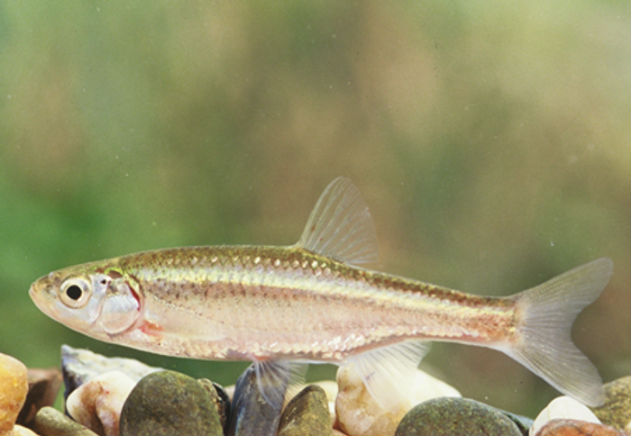 Meet the Squalius alburnoides, the first-known vertebrate to exhbit androgenesis.
