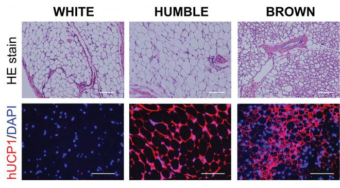 Fat tissue is shown in top panels, bottom panels show hUCP1 (red), only found in brown fat cells. HUMBLE fat cells are similar to white fat cells but express the brown fat-specific hUCP1 protein. / Credit: Joslin Diabetes Center