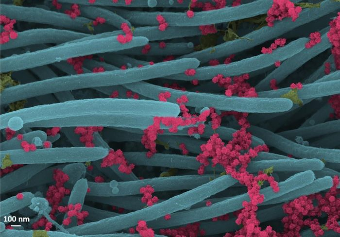 SARS-CoV-2 virions (red). / Credit: Ehre Lab, UNC School of Medicine