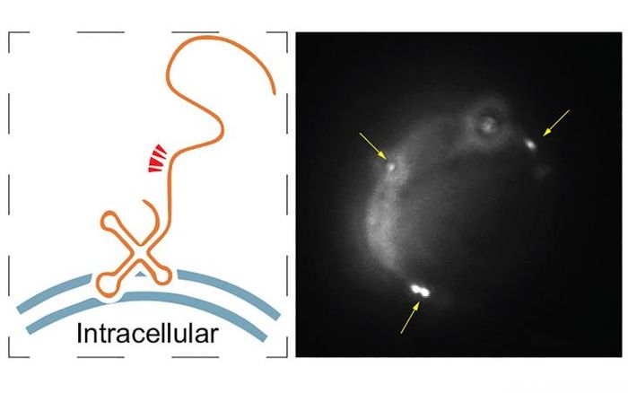 (Left) A hypothetical model of the relative positions of FISH probes (red arrowheads) on a membrane-bound RNA fragment. (Right) A single molecule RNA fluorescence in situ hybridization image of maxRNAs (yellow arrows). / Credit: Zhong Lab