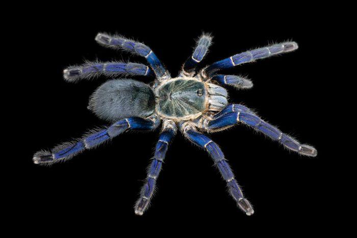 The image by Bastian Rast shows a Cobalt Blue Tarantula (Hapolpelma lividum), with brilliant cobalt blue hair-like setae on its legs.