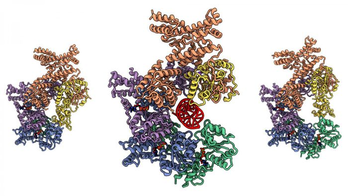 A human Origin of Replication Complex (ORC); the complex clamps down on DNA (the red helix in the central model). On the left, the model shows the complex covered and protecting the DNA binding cavity, and on the right the complex has no DNA and is open. / Credit: Joshua-Tor lab/CSHL, 2020