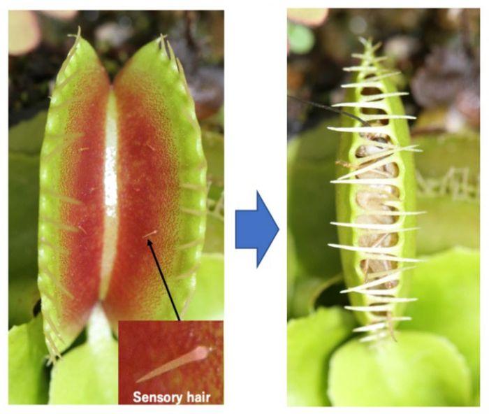 Sensory hairs of the Venus flytrap (Dionaea muscipula). / Credit: NIBB