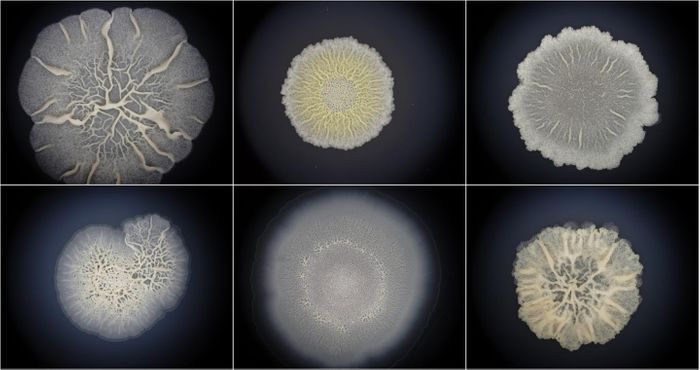 Bacillus biofilms resemble embryos. / Credit: Dr Momir Futo, Rudjer Boskovic Instiute