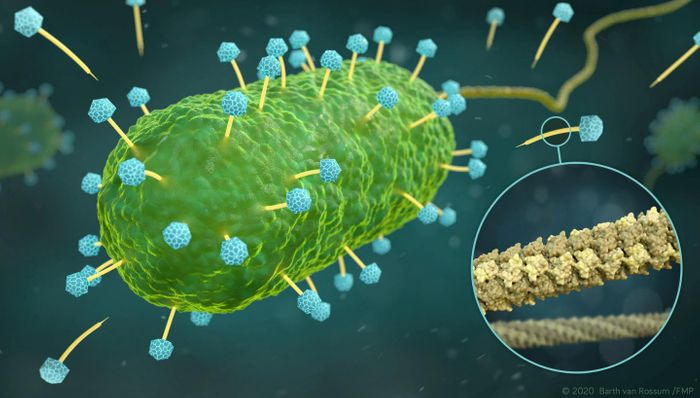 Artistic representation of phages of the family Siphoviridae (yellow and blue) that infect a bacterial cell (green). The excerpt (circle) shows the atomic structure of the DNA tube (yellow), through which the phages inject their DNA into the bacterium. Credit  Visualization: Barth van Rossum, FMP