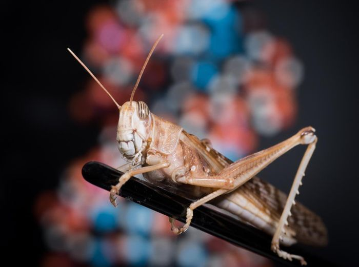 In between swarm outbreaks, desert locusts lead solitary lives that behave much like a harmless grasshopper. / Credit: University of Leicester