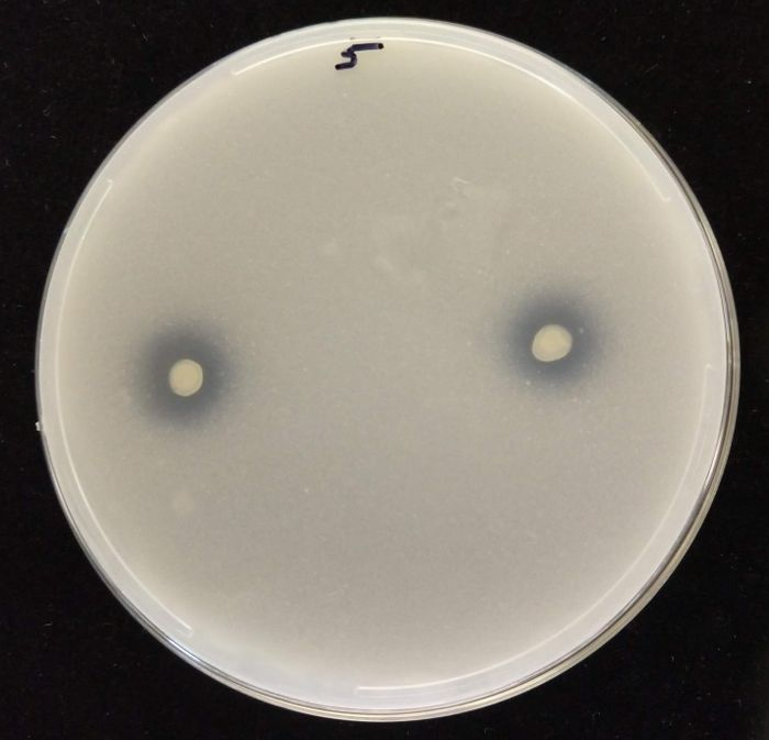As an endophytic strain dissolves tricalcium phosphate, a clear halo is produced around the milky-white phosphate circles, as seen in this image of the process occurring in an agar medium. Credit  Sharon Doty/University of Washington