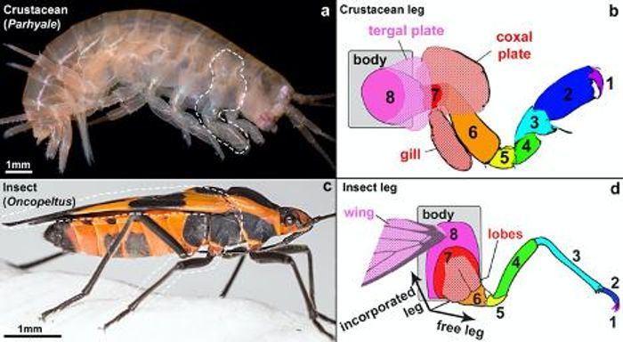 nsects incorporated two ancestral crustacean leg segments (labeled 7 in red and 8 in pink) into the body wall. The lobe on leg segment 8 later formed the wing in insects, while this corresponding structure in crustaceans forms the tergal plate. / Credit  Heather Bruce