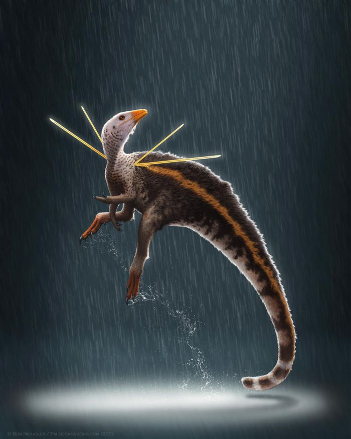 Ubirajara jubatus is named for the Tupi Indian name for 'lord of the spear', and jubatus from the Latin for 'maned' or 'crested'. / Credit: Artwork © Bob Nicholls / Paleocreations.com 2020