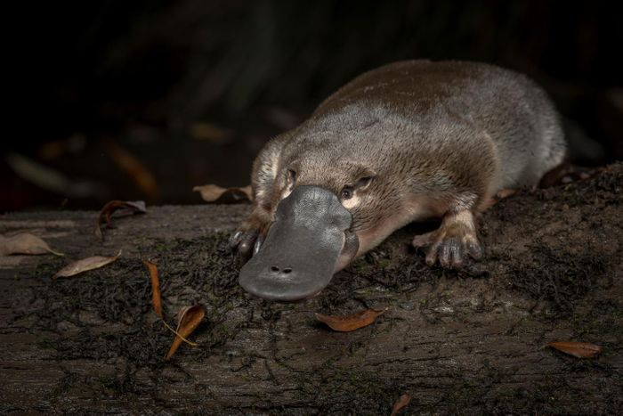 New methods have shown that platypus has ten sex chromosomes. / Credit  © Doug Gimesy
