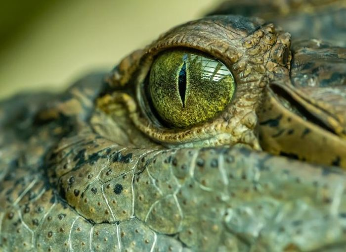 The 'swamp king' was one intimidating croc./ Credit: The University of Queensland