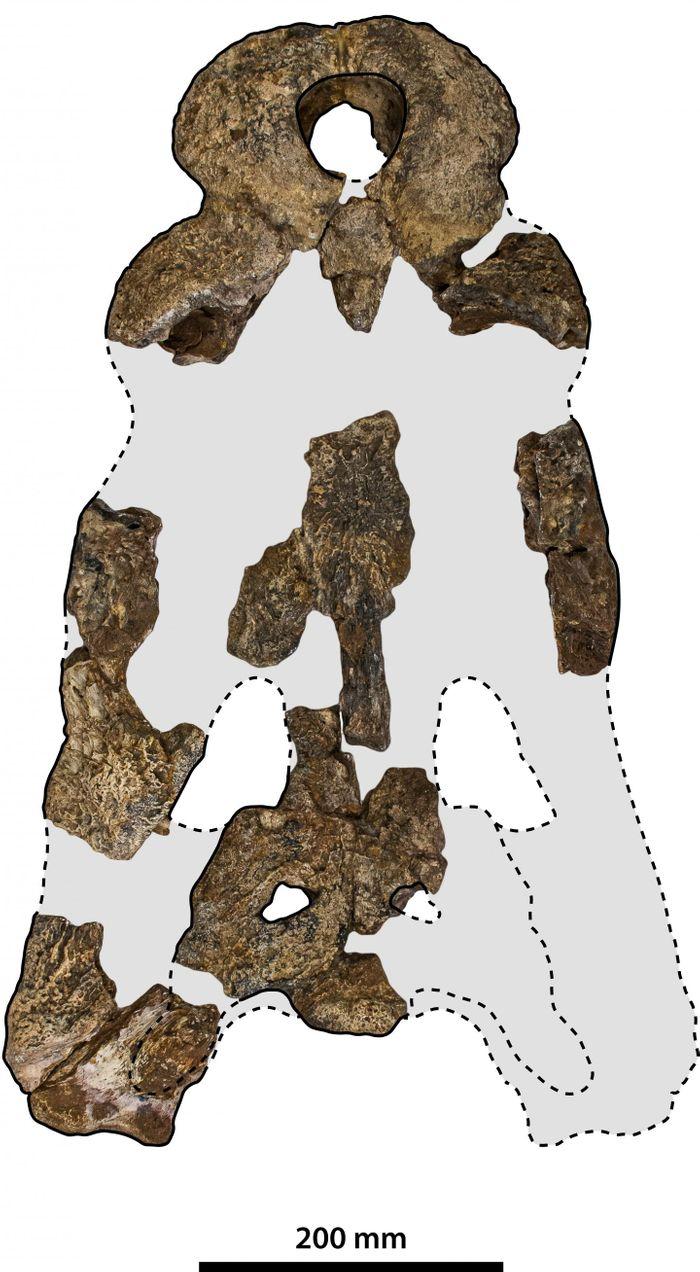 Skull pieces of Paludirex vincenti.  / Credit: © Jorgo Ristevski