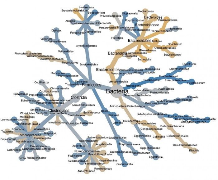 A diagram of bacterial species from one patient that are more likely to be found with tumor samples (blue) or normal tissue samples (yellow). The bacterial family tree is shown with node sizes proportional to the number of times a bacterial group is seen. It confirms that Fusobacterium species are strongly enriched in colorectal cancer and reveals that Campylobacter species are also linked to the disease. / Credit: Anders Dohlman, Duke University