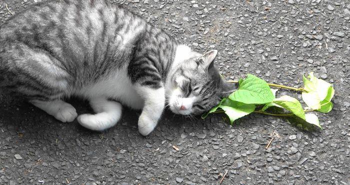 A cat responds to silver vine leaves. Credit  Masao Miyazaki & Reiko Uenoyama