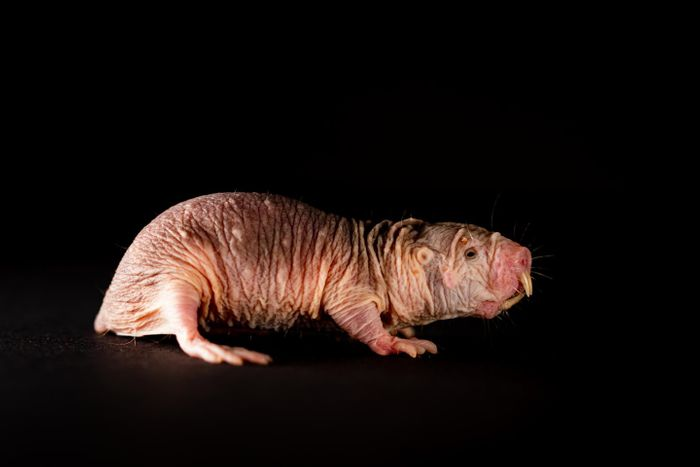 Over millions of years, naked mole-rats have cast away everything underground which uses their energy and isn't necessary to survive. This includes their fur - but also results in surprising abilities. / Credit: Felix Petermann, MDC