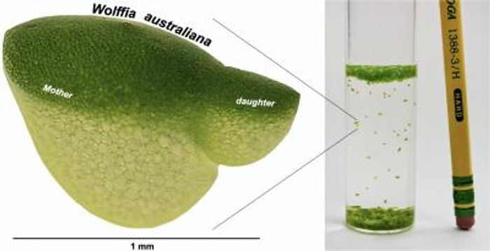 The tiny aquatic plant Wolffia, also known as duckweed, is the fastest-growing plant known. / Credit  Sowjanya Sree/Philomena Chu