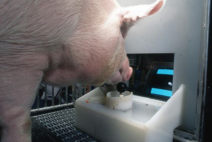 Yorkshire pig operating the joystick Credit  Eston Martz / Pennsylvania State University