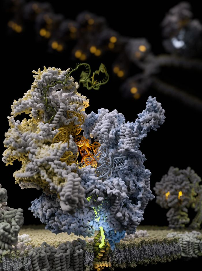 The mitoribosome is attached to its membrane adaptor as it synthesises a bioenergetic protein (glow yellow). / Credit: Dan W. Nowakowski and Alexey Amunts