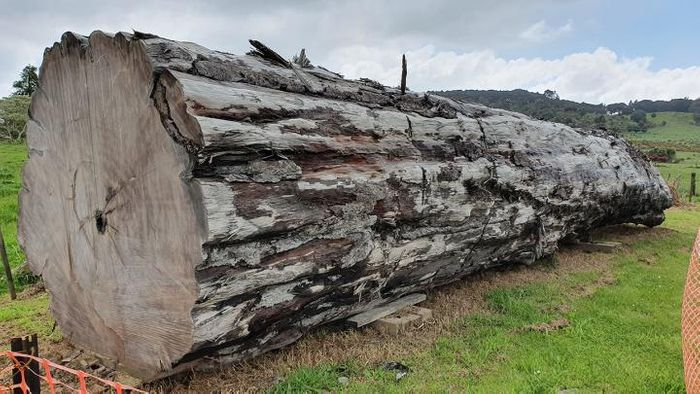 Using an ancient kauri tree log from Ngāwhā, New Zealand, scientists have dated the timing and environmental impacts of the last magnetic pole switch. / Credit: Nelson Parker (www.nelsonskaihukauri.co.nz)