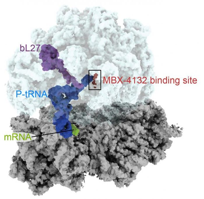 MBX-4132, binds to the bacterial ribosome and, in so doing, displaces a region of a protein (bL27, purple) that is critical to the trans-translation pathway in bacteria. / Credit: Dunham Lab, Emory University