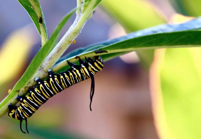 A monarch butterfly caterpillar, which doesn't tolerate freezing weather, and typically overwinters in Mexico. They overwinter in California now, thanks to milder winter temperatures. / Credit: Noah Whiteman, UC Berkeley