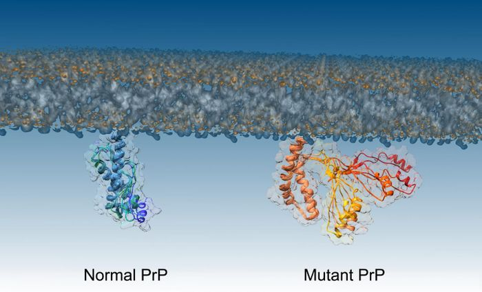 The structure of normal and mutant PrP proteins / Credit: Imperial College London
