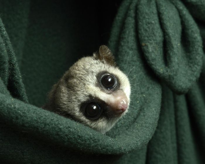 Credit: Photo by David Haring, Duke Lemur Center