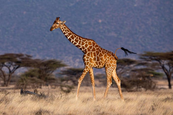 Giraffes are in general very alert and exploit their height advantage to scan the horizon using their excellent eyesight / Credit: Mogens Trolle