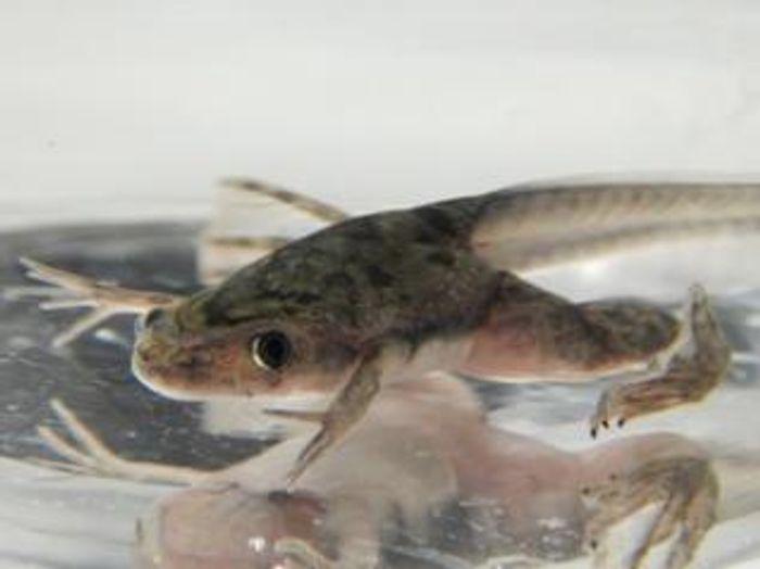 Xenopus froglet finishing metamorphosis. / Credit: Gretel Nicholson, EXRC