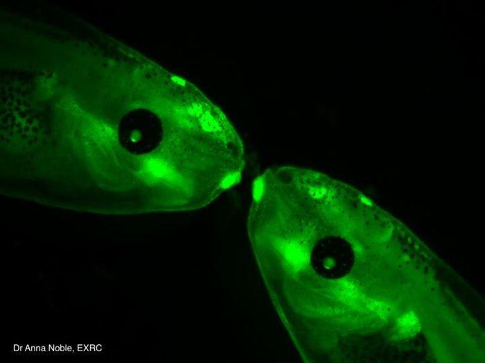 Transgenic Xenopus tadpoles. / Credit: Dr. Anna Noble, EXRC