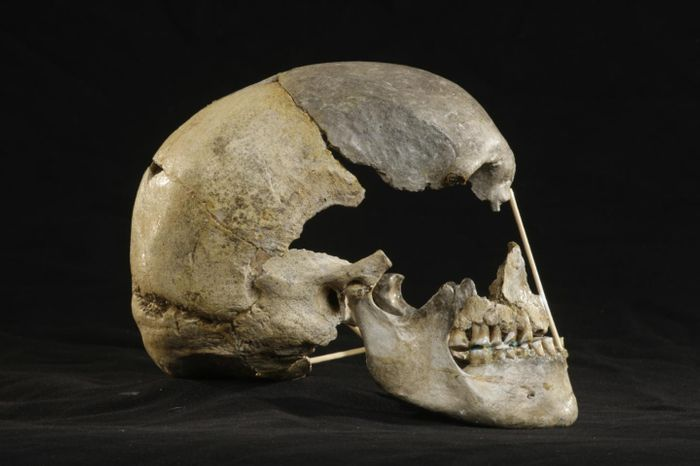 Lateral view of the mostly-complete skull of Zlatý kůň / Credit: Martin Frouz / ©Max Planck Society