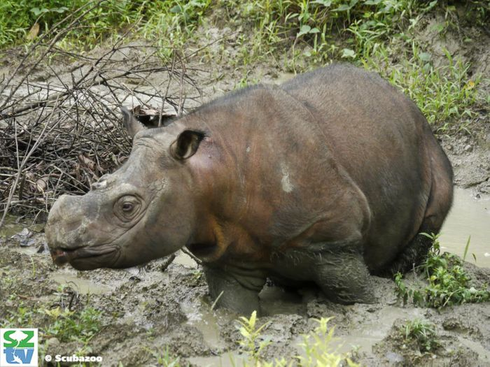 Kertam, a young male Sumatran rhinoceros from Borneo whose genome was sequenced for this study. / Credit: Scuba Zoo