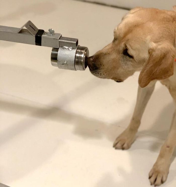 Poncho is a two-and-a-half year old yellow Labrador retriever that was trained in this study. / Image credit: Pat Nolan