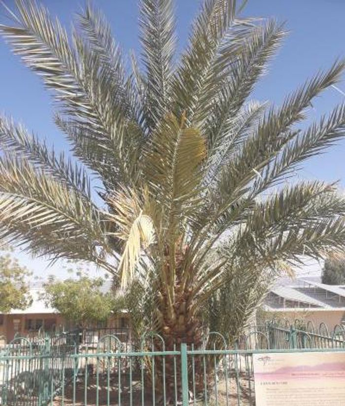 One of the date palms that was germinated from a 2,200 year old seed, now growing in Israel. / Credit: Sarah Sallon