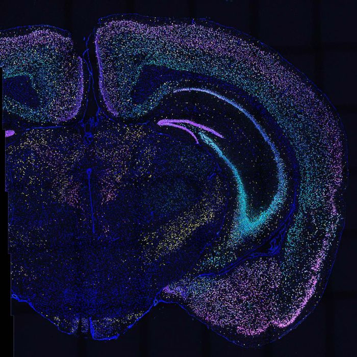 BARseq2 detects dozens of genes in thousands of neurons in this mouse brain slice. Each color lights up a different set of genes. / Credit: Chen and Sun/Zador lab, CSHL/2021