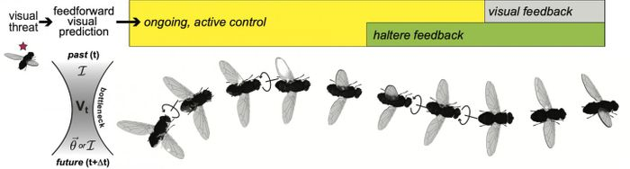 This image was created by authors S.E. Palmer and S. Wang, with 3D fly illustrations from D.A. Drummond.