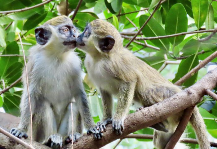Two vervet monkeys share a kiss in a mangrove forest near the Fort Lauderdale-Hollywood International Airport in South Florida. / Credit: Aaron Mencia
