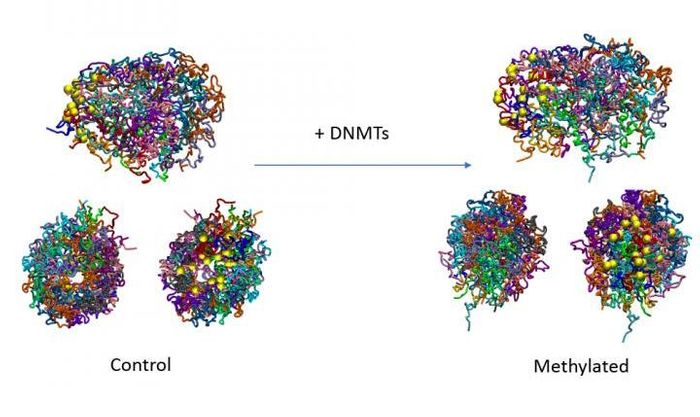 DNA methylation has an intrinsic effect on 3D genome structure. / Credit: IRB Barcelona
