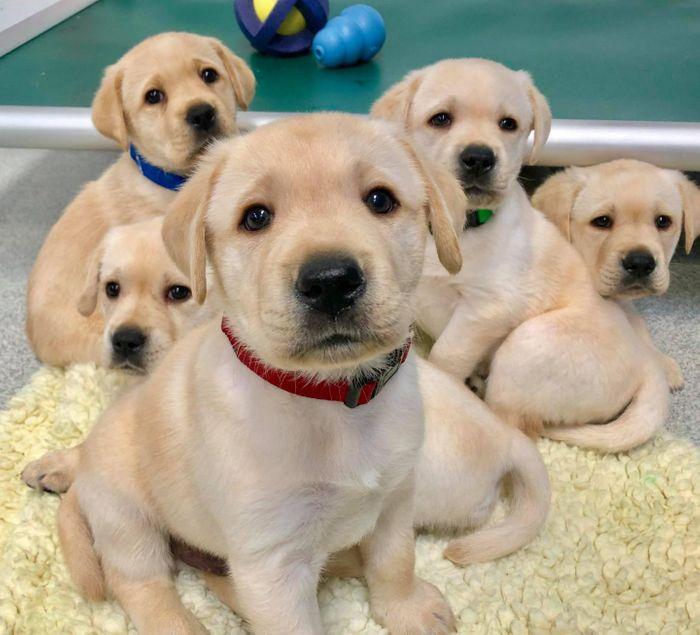 The study involved 375 budding service dogs from the Canine Companions service dog organization. / Credit: Courtesy of Emily Bray/University of Arizona