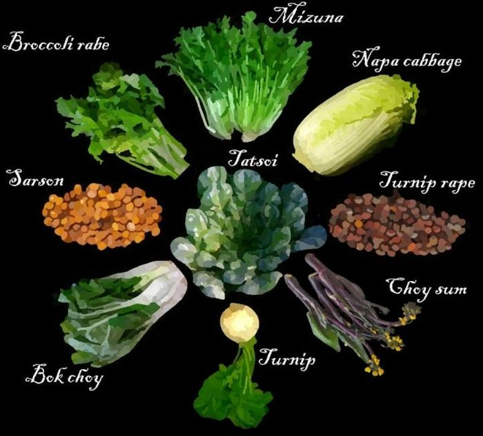 Some examples of domesticated Brassica rapa species, which humans bred into root vegetables like turnips, leafy greens like bok choy, and oil seeds. / Illustration by Alex McAlvay