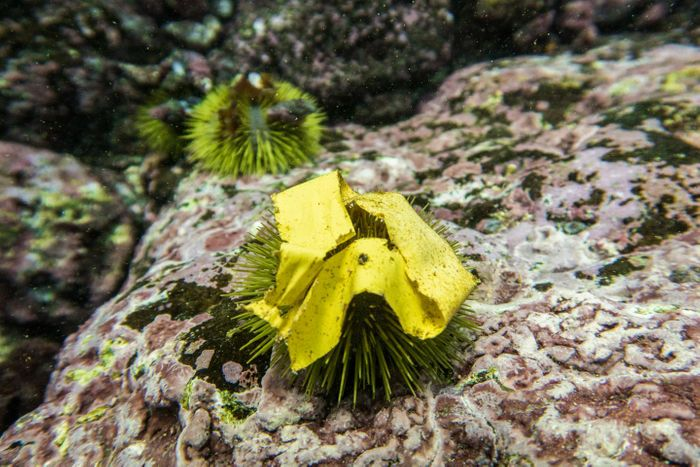 A piece of plastic tape found lying on an urchin. / Credit: Adam Porter