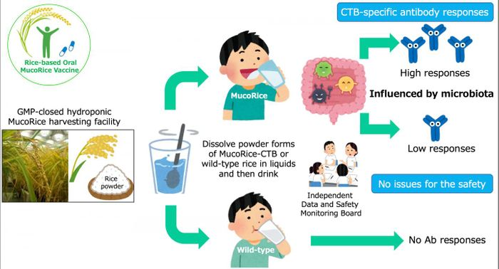 A basic summary of the MucoRice-CTB vaccine trial. / Credit: Image by Dr. Hiroshi Kiyono, CC BY 4.0.