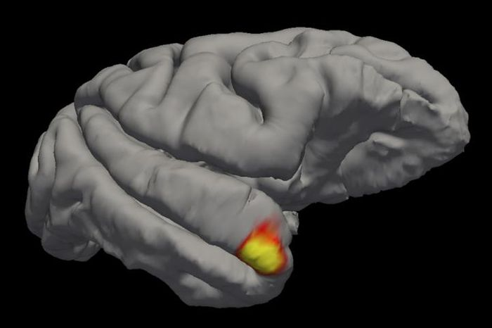 An area (red-yellow) in the brain's temporal pole specializes in familiar face recognition. / Credit: Sofia Landi