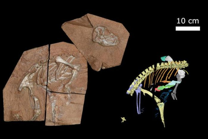 The newly found Heterodontosaurus tucki (left), and a digital reconstruction of the fossil (right), shows the unusual ribs and small bones. / Credit: Viktor Radermacher