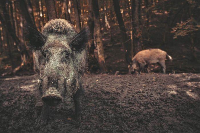 Wild pig /  Credit: The University of Queensland
