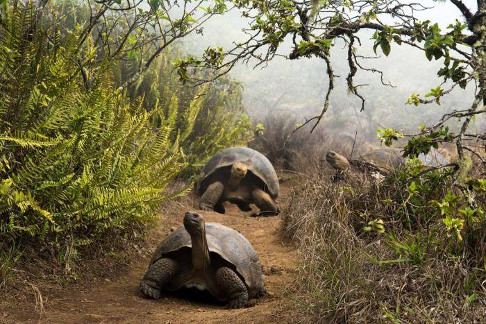 Giant Galapagos tortoises migrating / Credit: Juan Manuel García